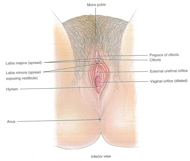 This Figure Published In  Depicts The Clitoris As Only The External Clitoral Glans And Prepuce Hood