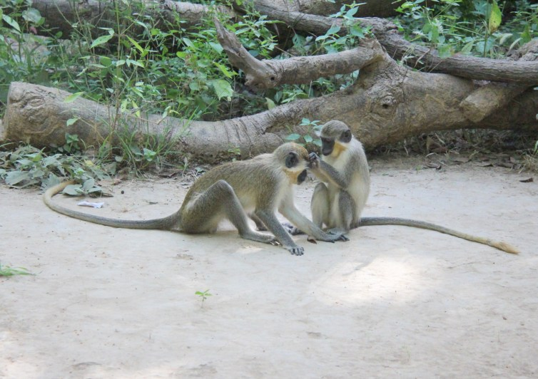 Primates with large brains tend to be highly social animals. Credit: Wikipedia