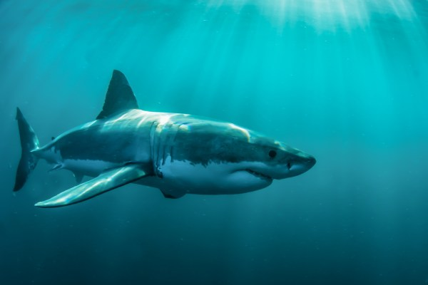 great white sharks – News, Research and Analysis – The Conversation – page 1