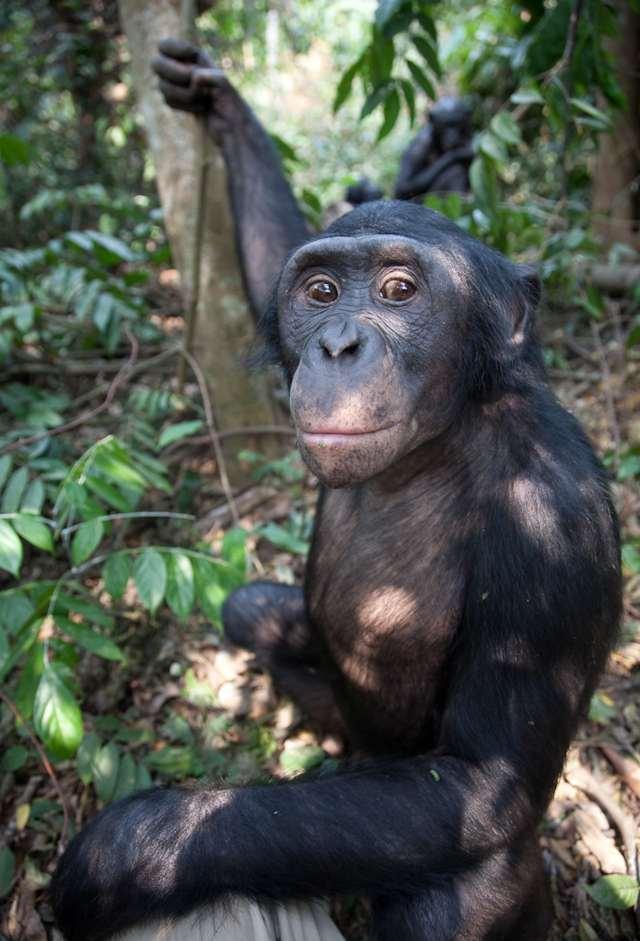 bonobo, scientific name Pan paniscus, pygmy chimpanzee, dwarf, gracile chimpanzee
