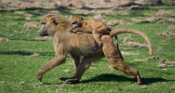 resilient baboons