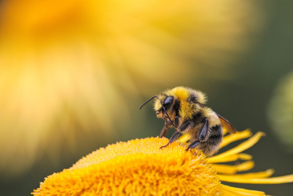 Bees seeking bacteria: How bees find their microbiome