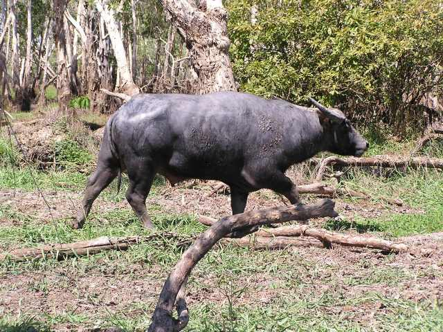 A wild buffalo walks over grass, in front of trees.