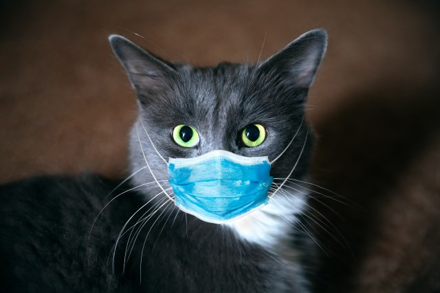 A grey cat wearing a surgical mask.