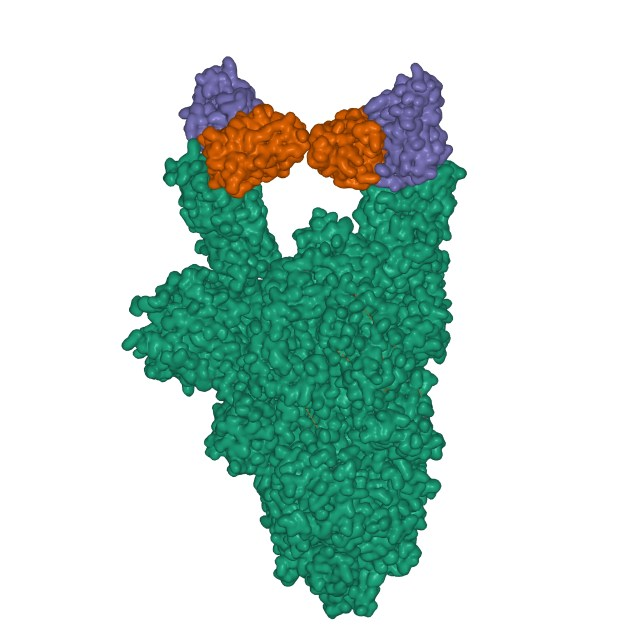 Y-shaped antibody bound to the spike protein.