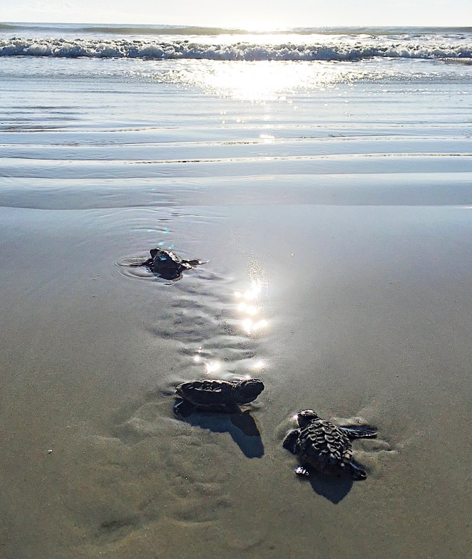 Three baby sea turtles crawl toward a sunlit ocean.