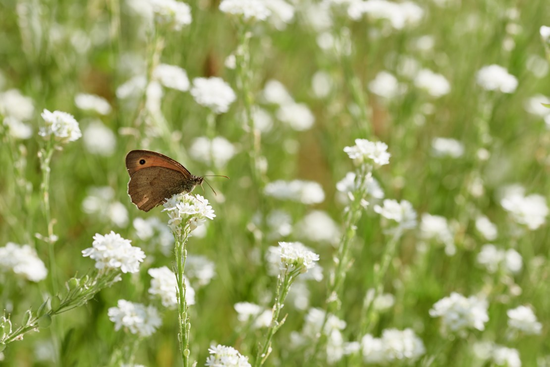 A brown butterfly rests on a white flower in a meadow.