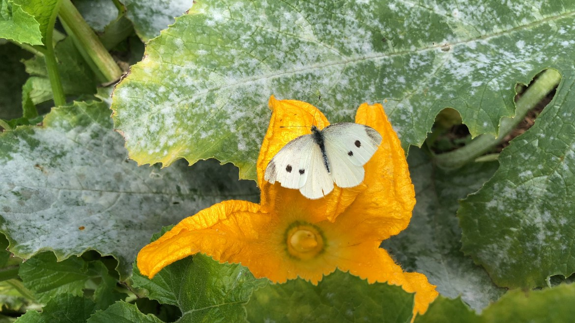 A white butterfly rests on the yellow flower of a courgette.