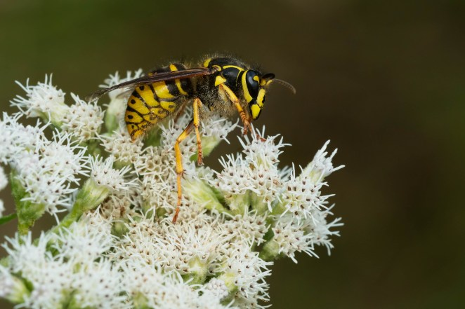 A wasp sits on white flowers.