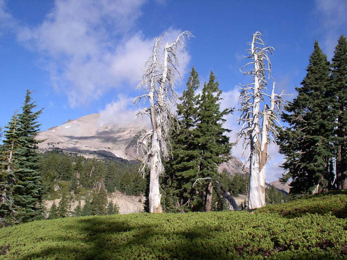 Dead pine tree, mountain in background.