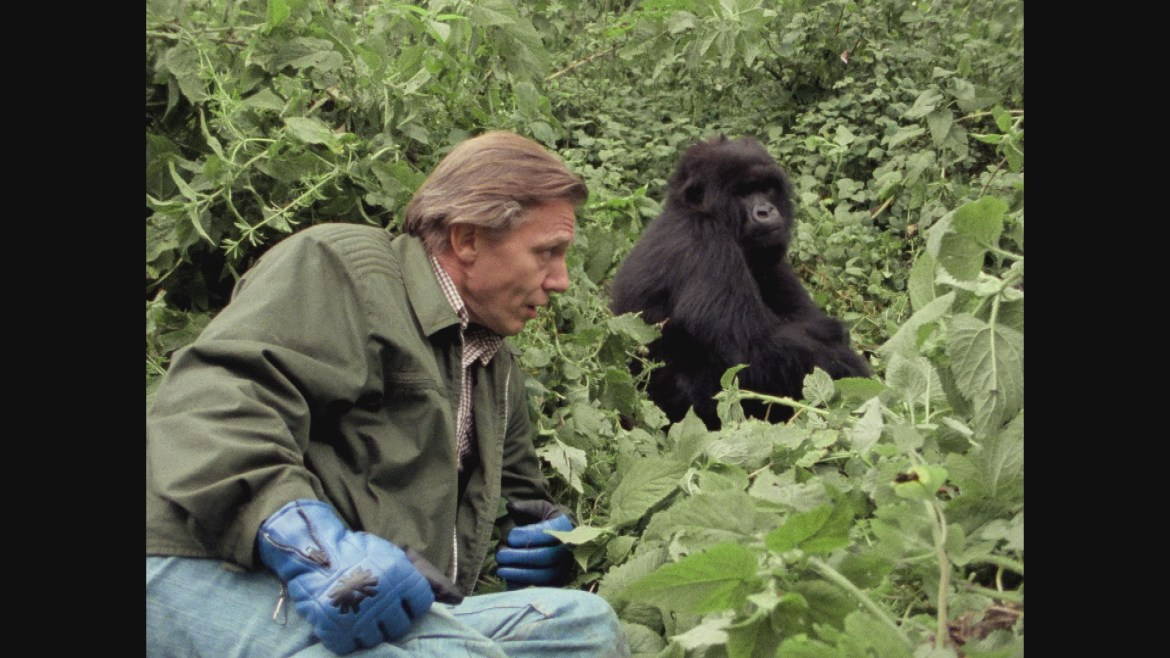 Man hangs out with gorilla.