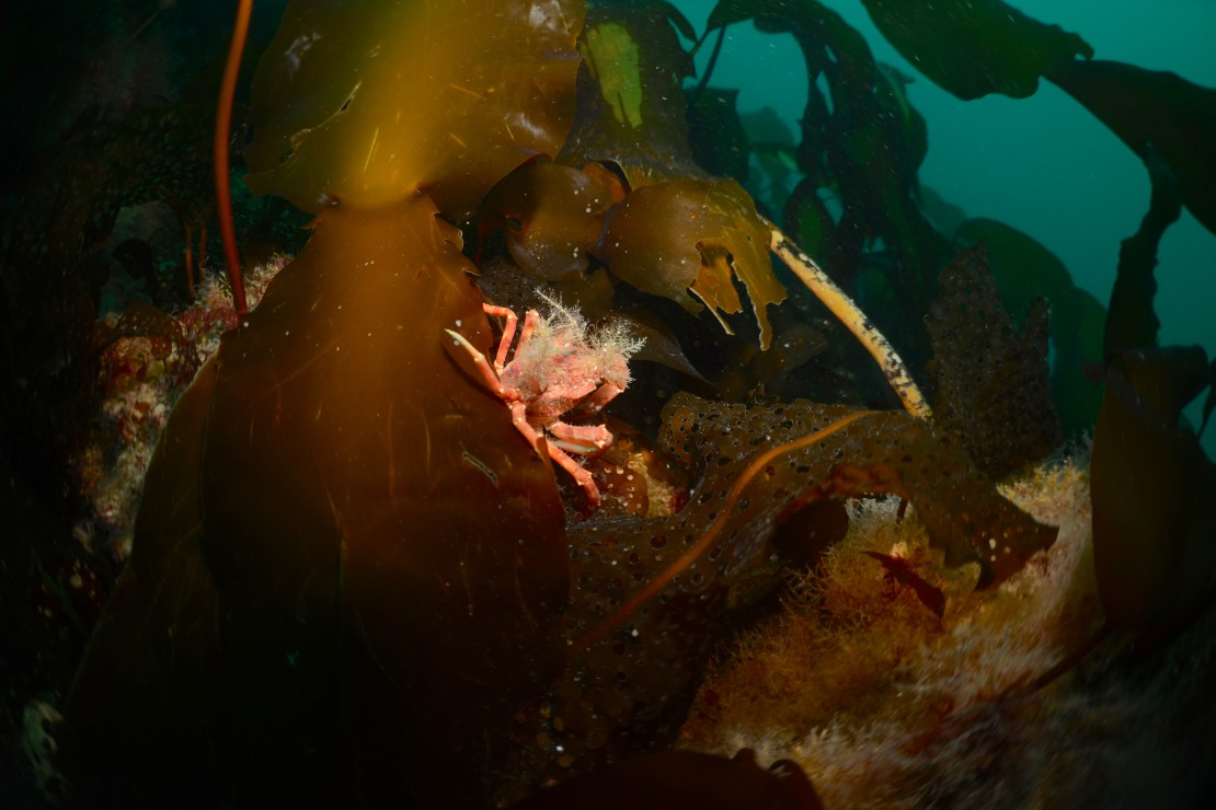 A bright orange crab nestles in a thicket of dark brown seaweed.