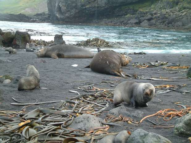 Seals and seaweed on a southern beach.
