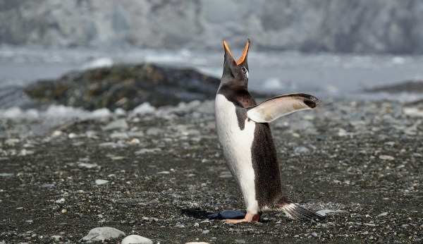 Penguin crying and flapping its wings on a beach.