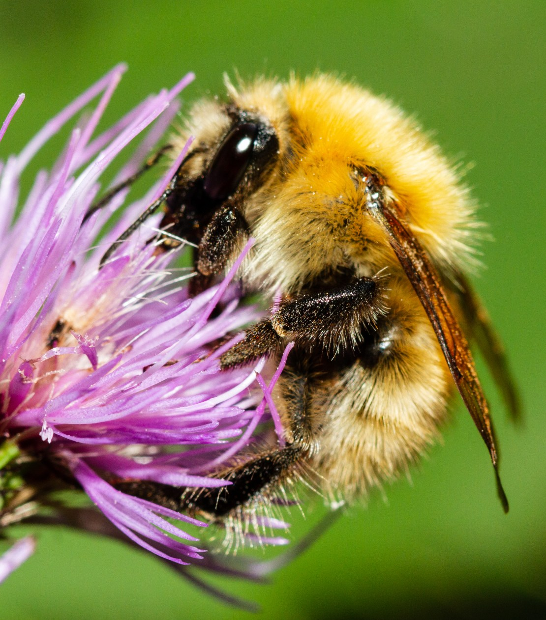 A bumblebee collecting pollen from a thistle.