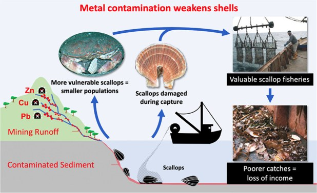 Diagram of heavy metal pollution and impact on scallops.