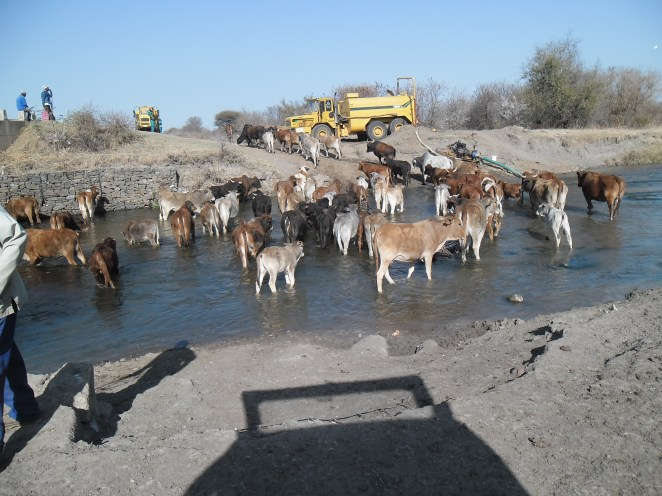 Cattle and water
