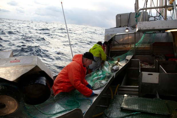 Fishermen aboard a boat with a haul of cod