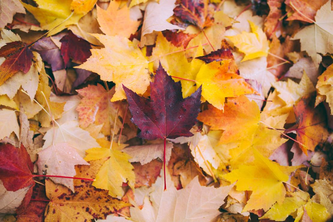 A pile of yellow and orange maple leaves with a dark red leaf in the middle.