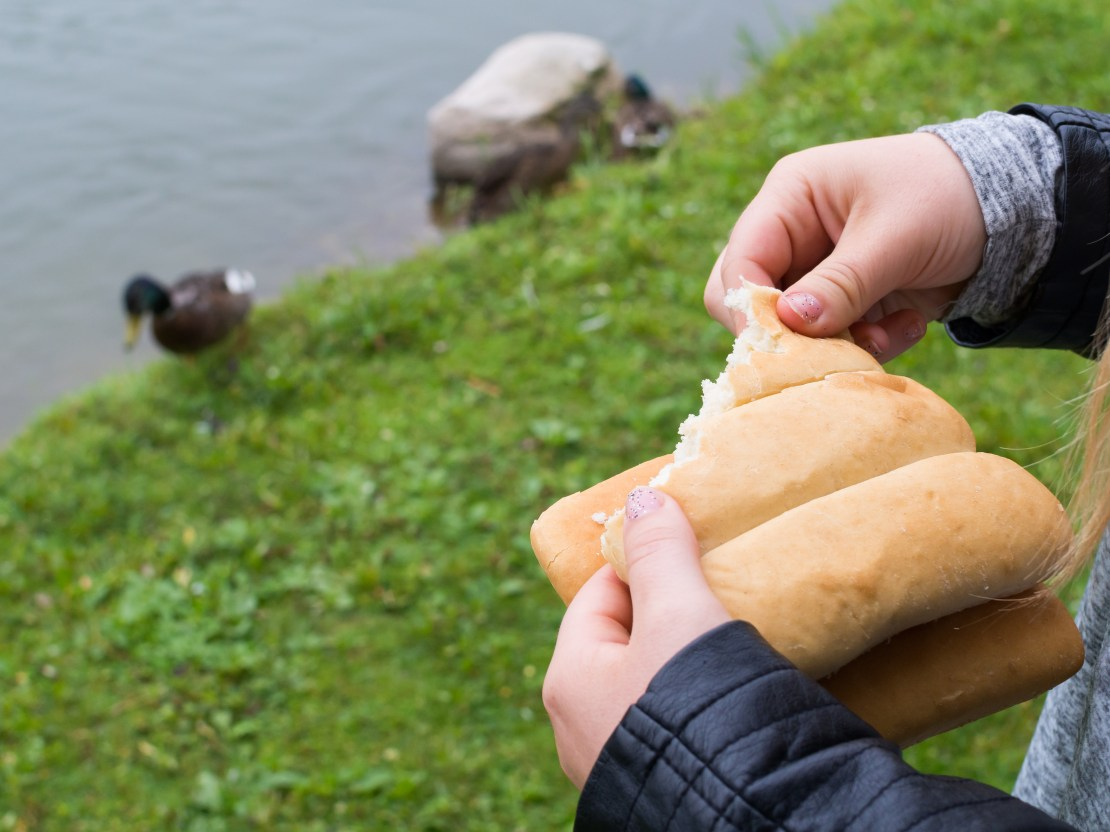 A pair of hands tear a bit of bread with a duck near a pond in the background.