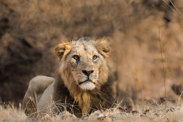 A lion sits and faces camera.