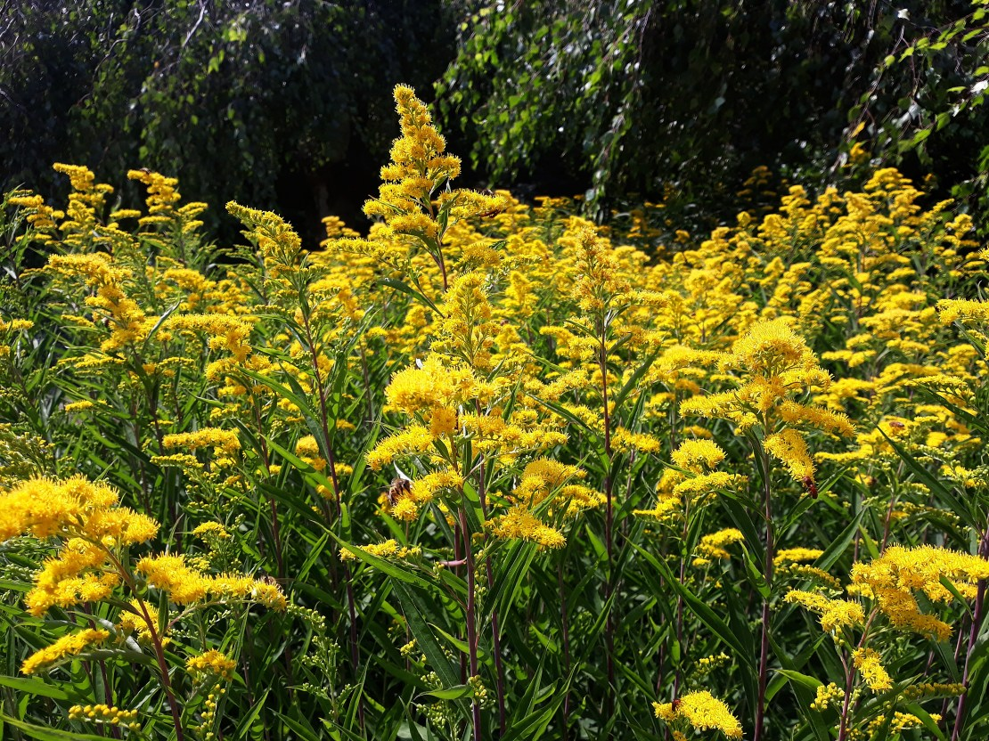 A field of goldenrod.