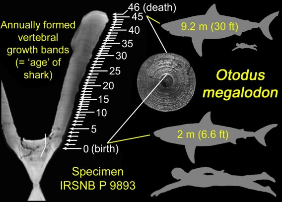 Growth bands in a vertebra of the extinct shark along with its size at birth and death, next to a typical adult human.
