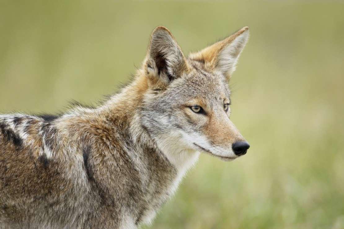 A wolf-like animal