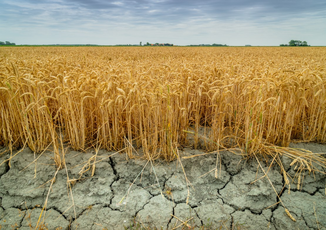 Yellow wheat plants grow above cracked dry soil