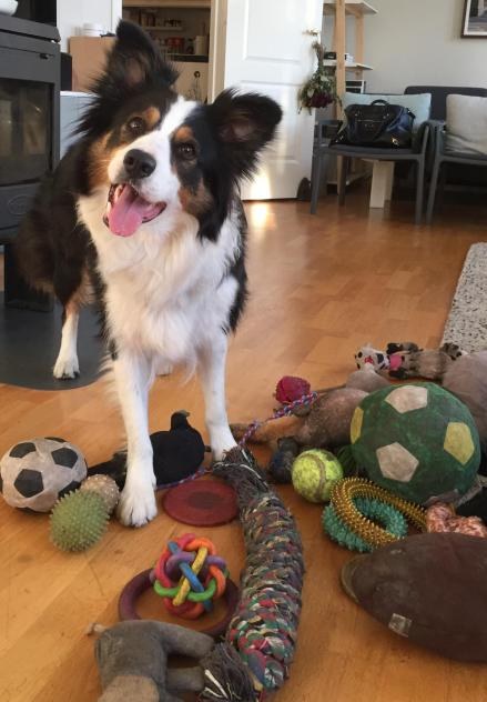 A collie standing in front of a pile of toys.