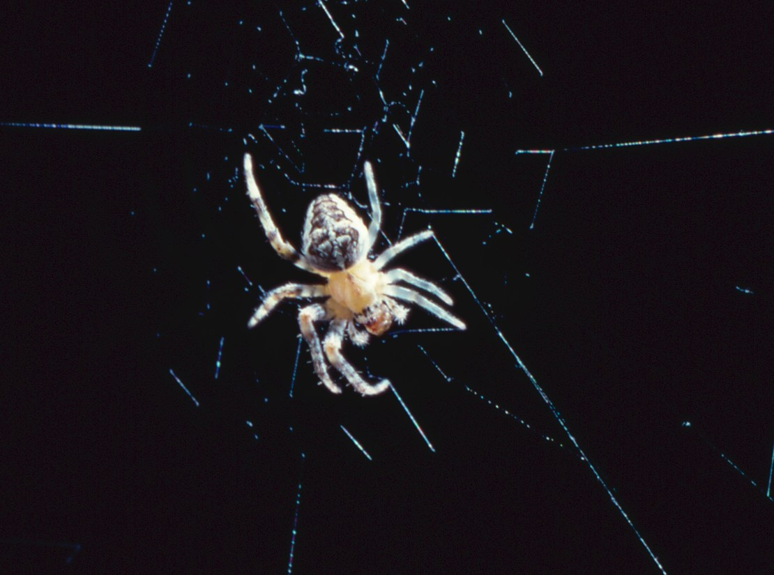 A small spider against a black background on its web