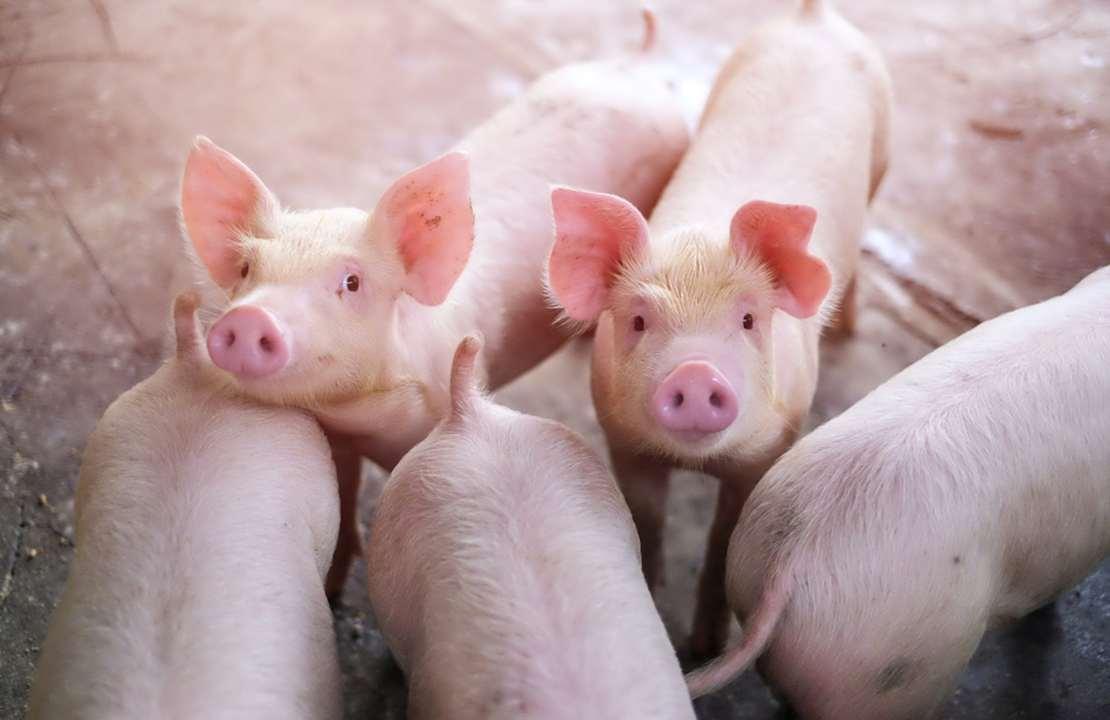 Pigs on a farm.