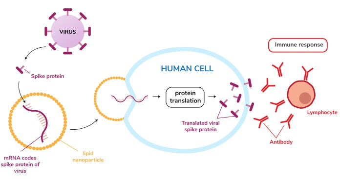 diagram of how an mRNA vaccine works