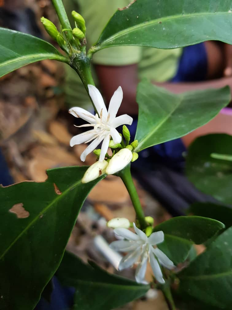 Two eight-rayed white flowers on a tree branch.