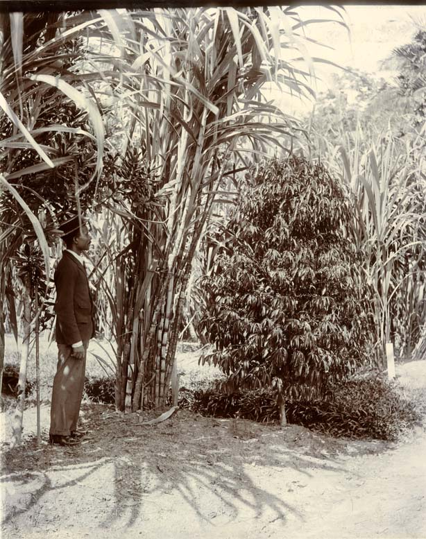 A black-and-white photo of a man looking near a coffee plant.
