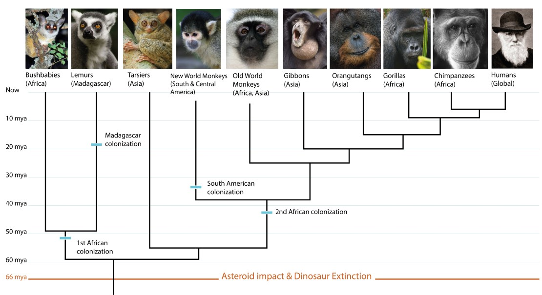 Evolutionary tree showing primates and their geographic distributions
