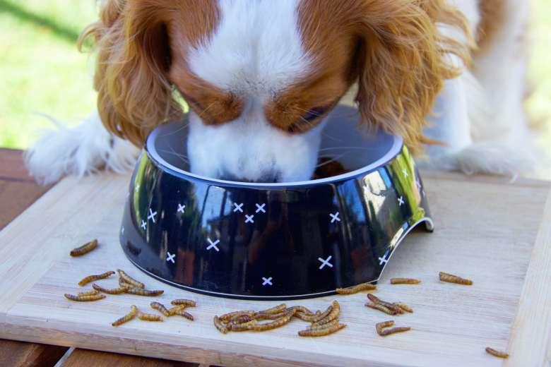 Perro comiendo de un plato con insectos alrededor