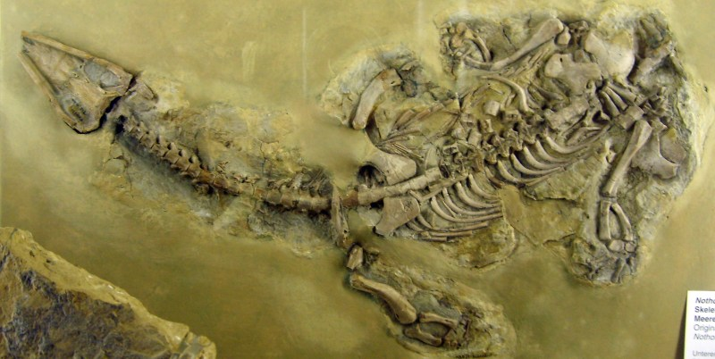 Picture of a fossil marine reptile called _Nothosaurus_.