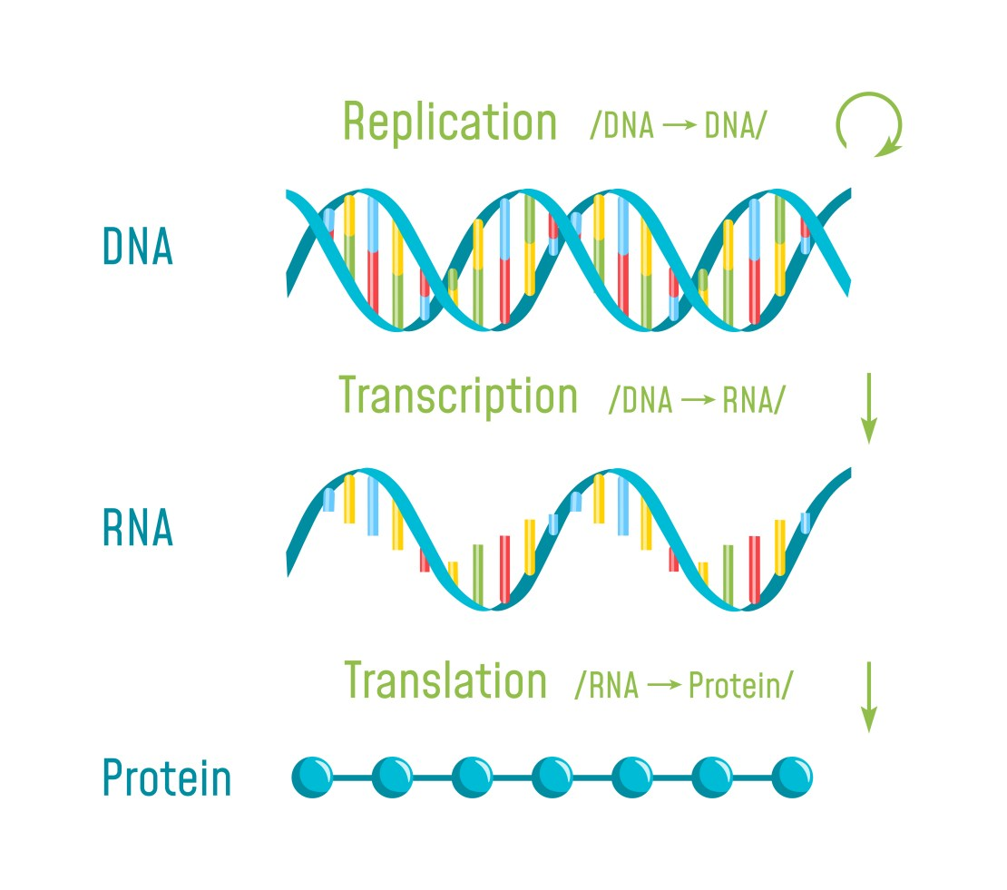 The process of turning DNA into RNA and into protein.