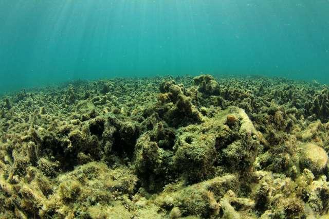 Restos de coral muertos asfixiados por las algas