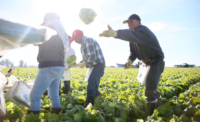 workers harvest lettuce in a field