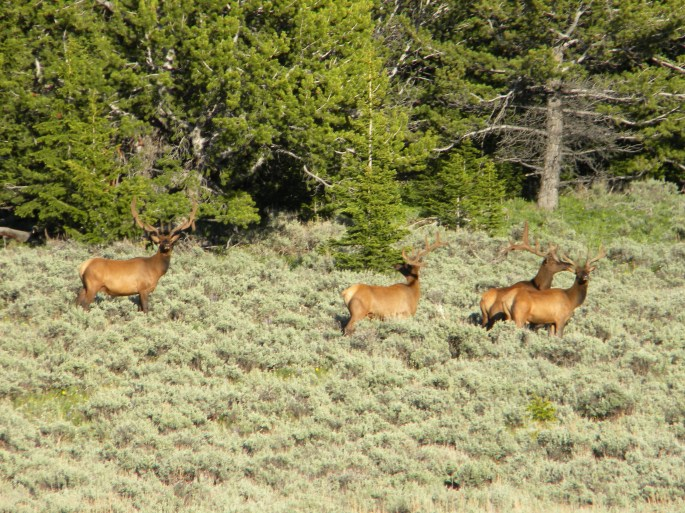 A group of elk in a grassland area.
