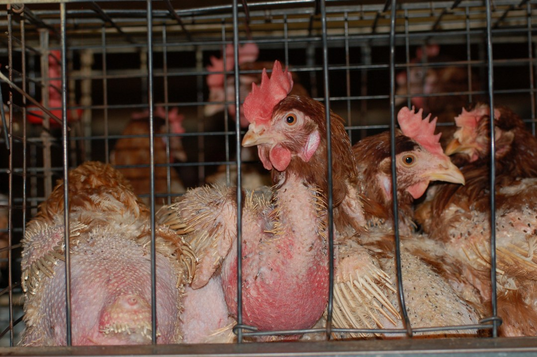 hens in cage with feathers missing