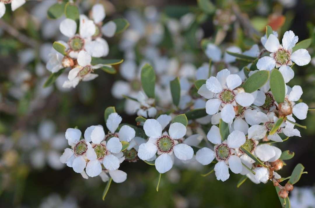 Coast teatree, Leptospermum laevigatum, is now an invasive species in some areas. It has small white flowers.