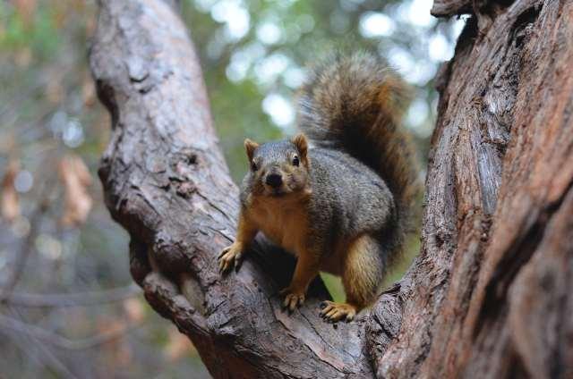 Squirrel perches in a tree.