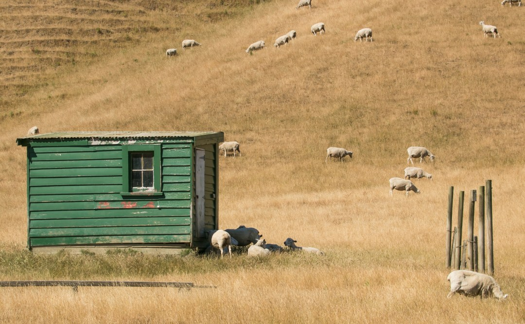 Sheep paddock during drought