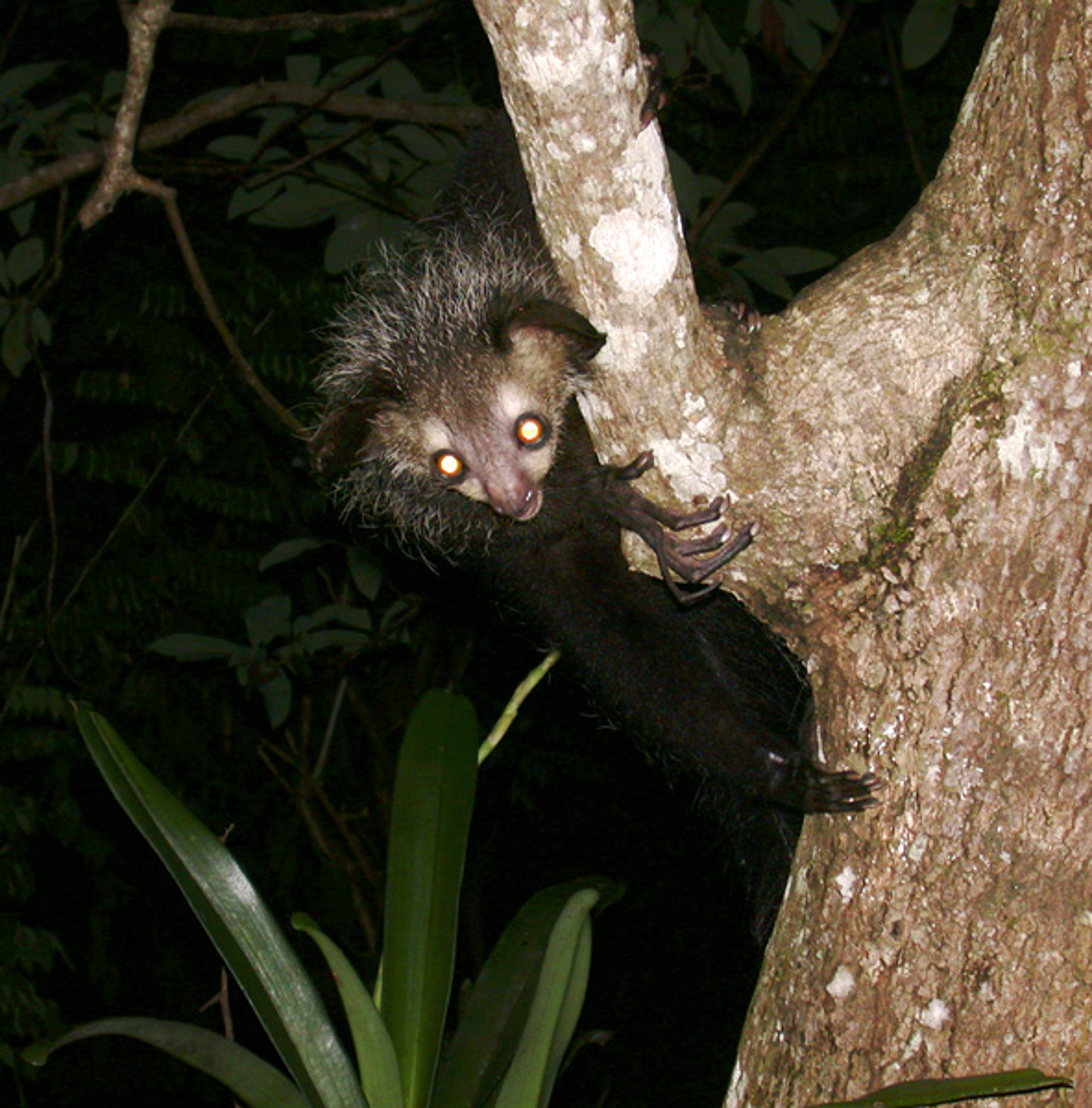 An aye aye clings to a tree at night