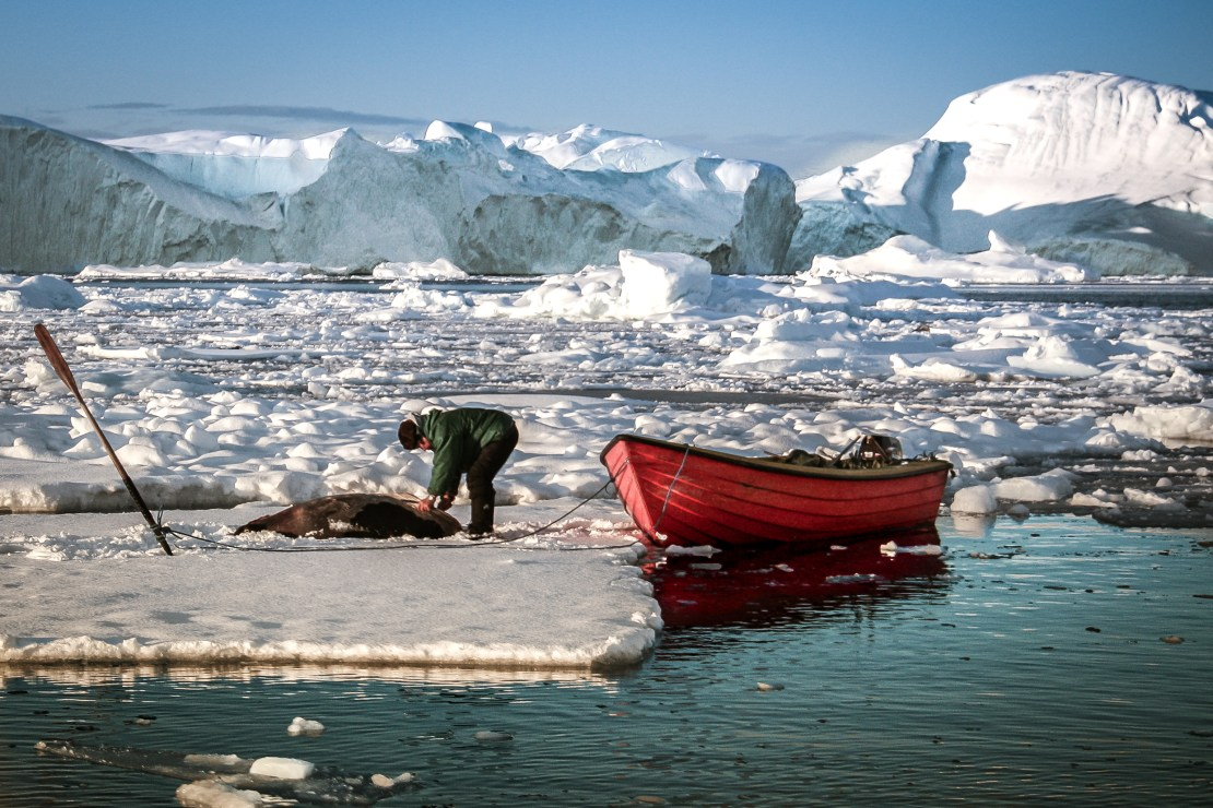 A sealer approaches a dead harp seal on an ice floe.