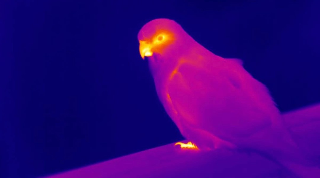 Thermal image of a king parrot, showing that the beak in yellow