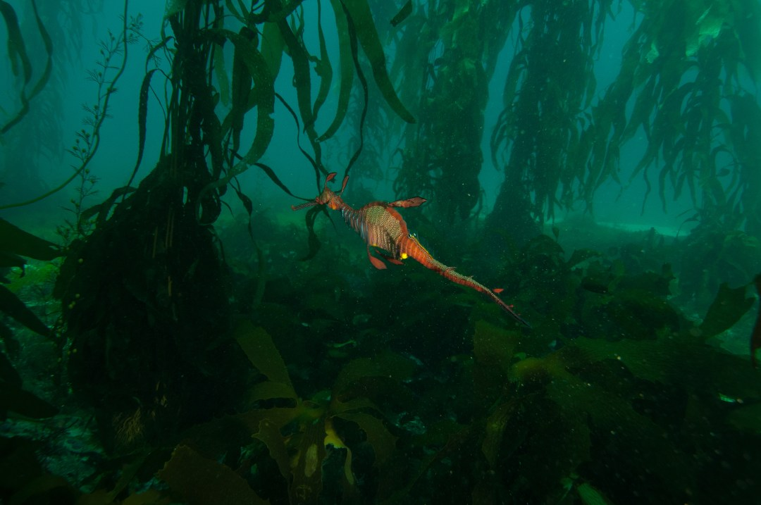 seahorse swims in kelp forest